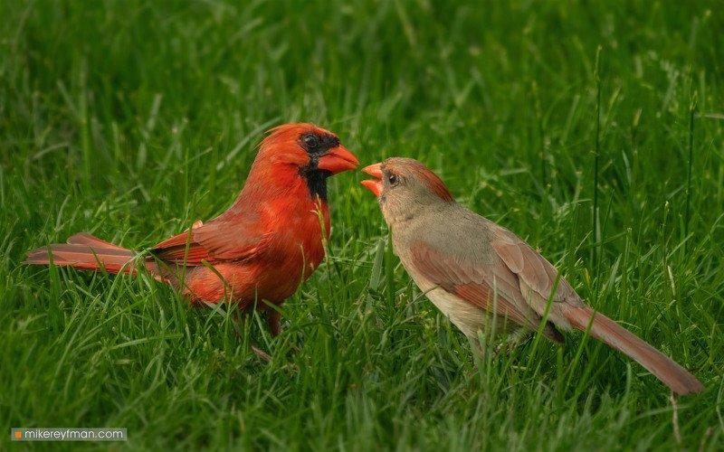 northern cardinal, red robin, local wildlife, arlington club, wheeling, illinois Northern Cardinal (Red Robin) / Красный (Виргинский) Кардиналphoto preview