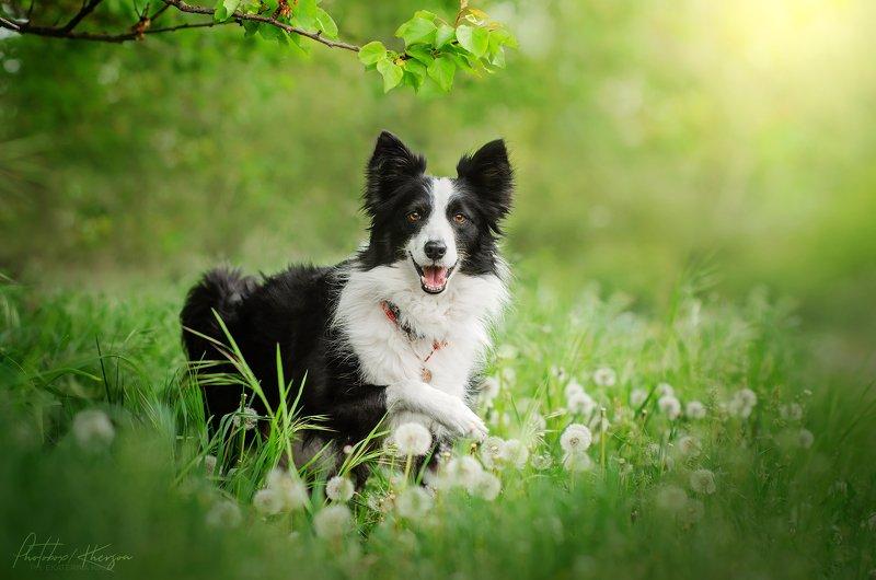 собака, анималистика, природа, весна, портрет Бордер коллиphoto preview