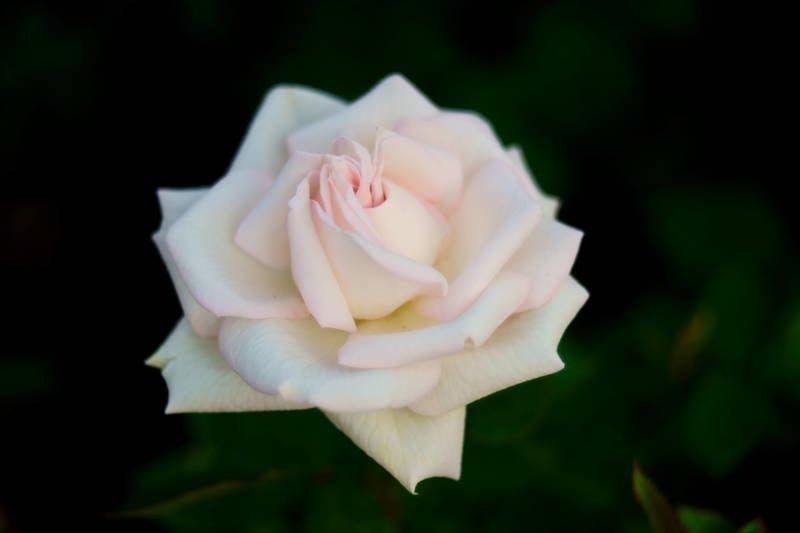 south korea, seoul, spring, rose, bokeh, macro, beautiful, close-up, flower Rose of junephoto preview