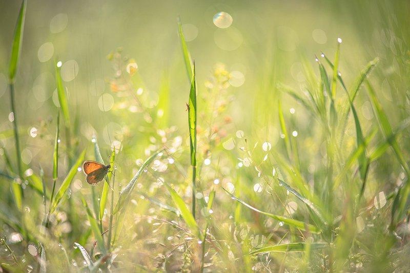 лето, позитив, голубянка, кузнечик молодой, насекомыши, роса, утро, свет, цвет, добро, воронеж, геннадий мещеряков Ах лето!photo preview