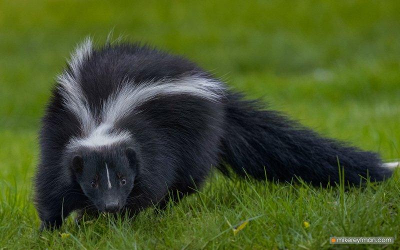 skunk, local wildlife, arlington club, wheeling, illinois А у нас во дворе | Скунсphoto preview