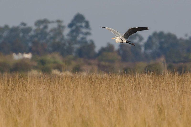 птицы, уругвай Южноамериканская цапляphoto preview