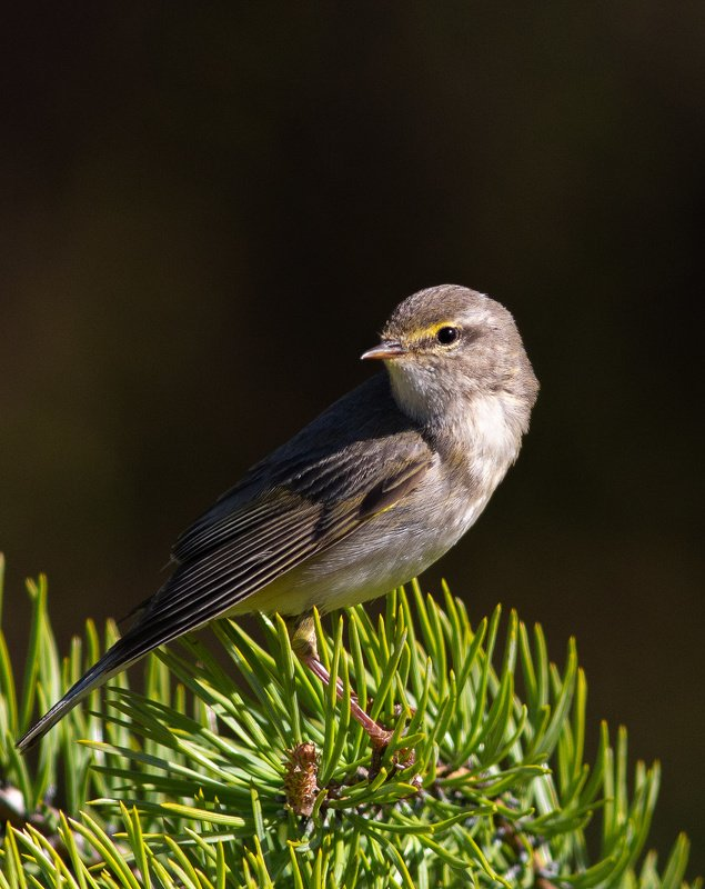 печора,коми,север,пеночка-весничка,птицы,лето Пеночка-весничкаphoto preview