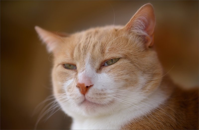 кошки, портрет Кошачий лордphoto preview