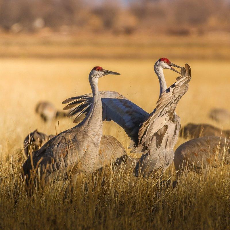 Sandhill cranes fightphoto preview