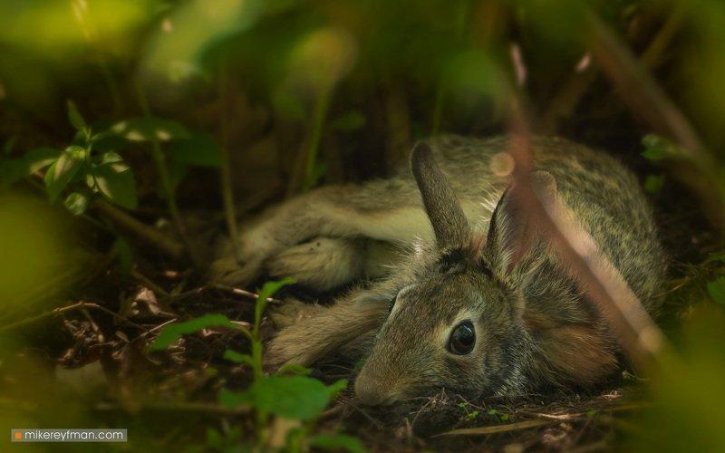 eastern cottontail rabbit, local wildlife, arlington club, wheeling, illinois Братец Кроликphoto preview