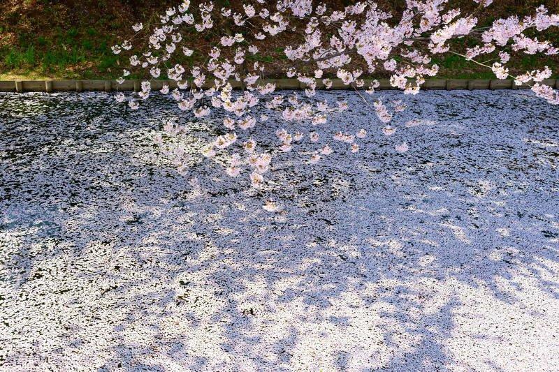 japan, aomori, spring, cherry blossom, petals, sakura, landscape, flower, travel, garden, Cherry blossom petalsphoto preview