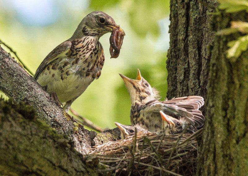 птицы дрозд рябинник Многодетное гнездо дроздов-рябинниковphoto preview