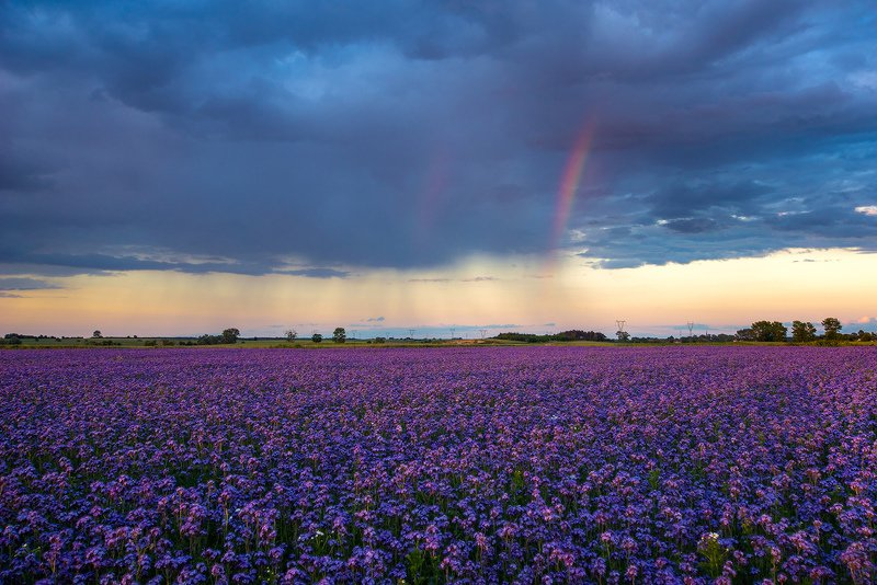 Rainbow over the phacelia fieldphoto preview
