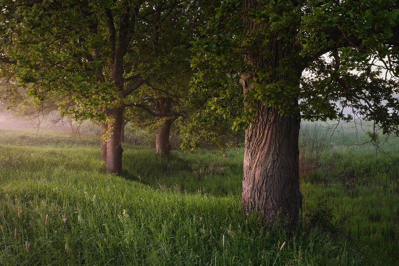 деревья, дубы, лес, утро, свет Утро в начале летаphoto preview