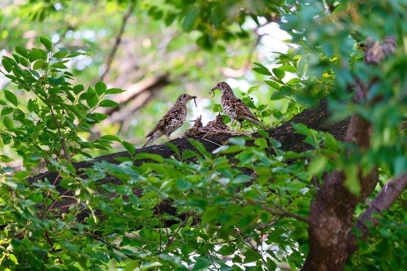 south korea, gyeongsangbukdo, gyeongju, animal, bird, june, tree, Tiger Thrush-Raise bird chicksphoto preview