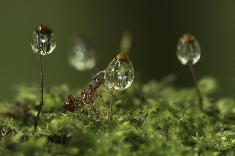 муравей, мох, капли, роса Кто-то должен зажигать фонариphoto preview