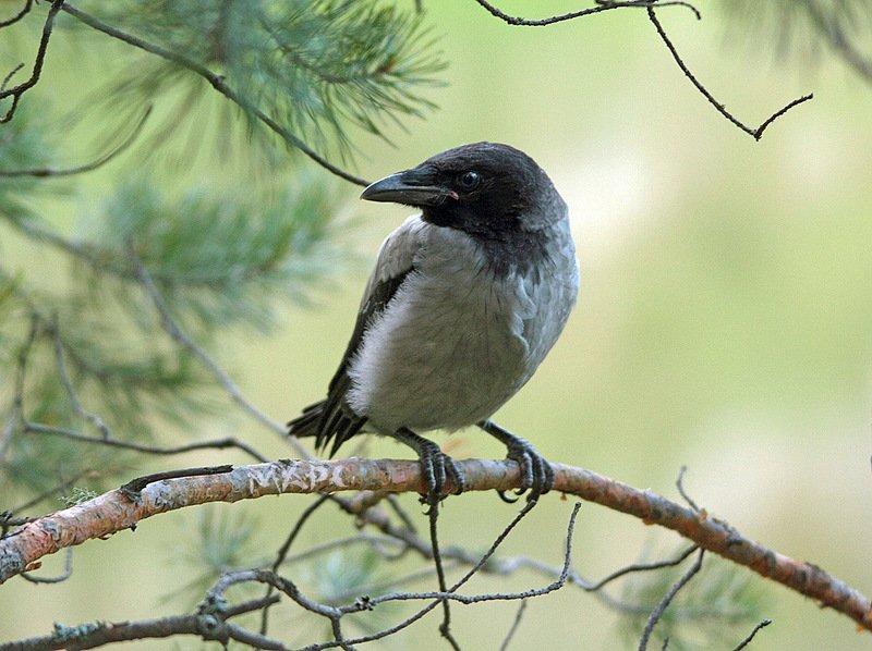 животные птицы вороненок весна Вороненокphoto preview