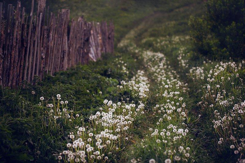 лето, природа, деревня, одуванчики Дорога из одуванчиковphoto preview