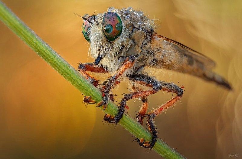 ктырь, robber fly ***photo preview