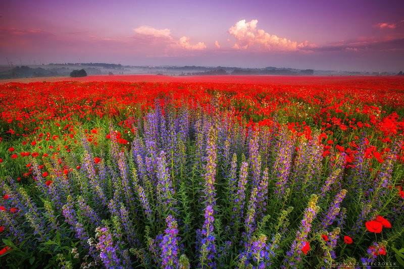 poland, polish, landscape, sunrise, sunset, colours, awesome, amazing, adventure, travel, beautiful, fields, poppy, spring, flowers, red, carpet photo preview