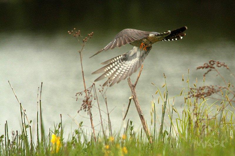 животные птицы кукушка кукушкаphoto preview