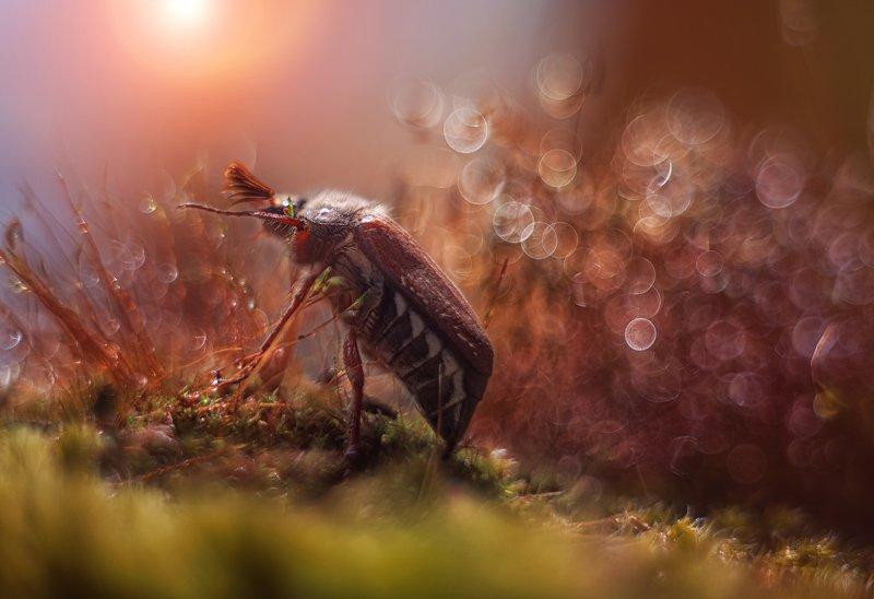 макро жук мох боке солнце майский хрущ Дотянуться до солнцаphoto preview