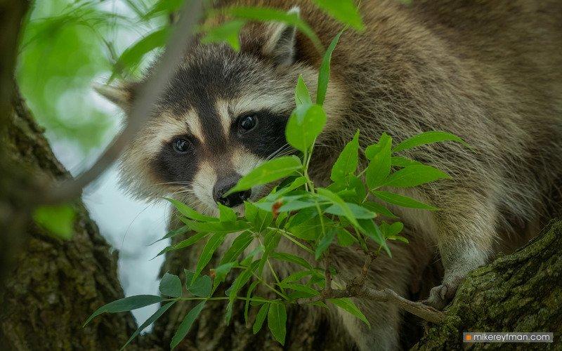 raccoon, local wildlife, arlington club, wheeling, illinois Пряткиphoto preview