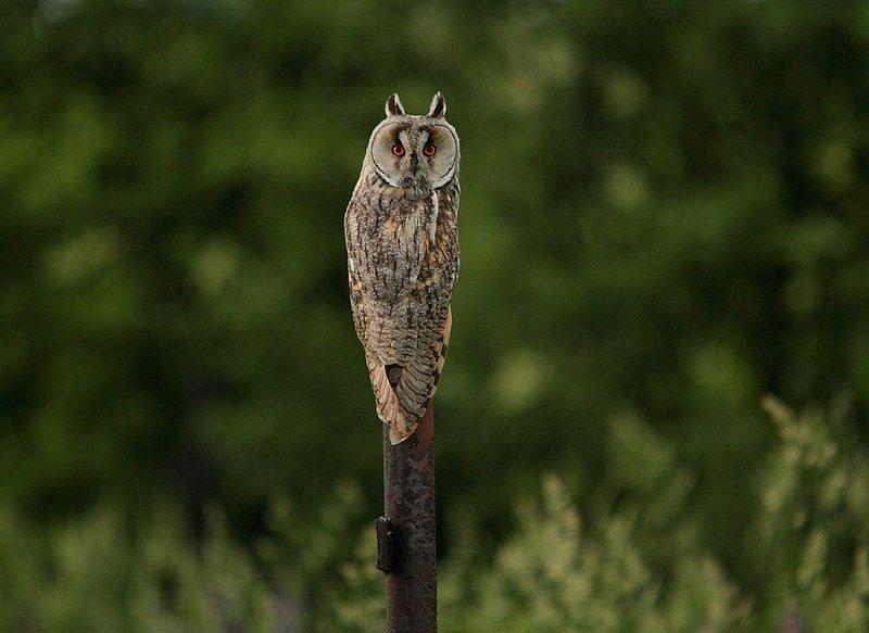 животные птицы ушастая сова вечер Ушастая соваphoto preview