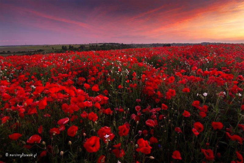 poppies, maki, polska, marcin rydzewski, landscape, canon, nature, red, flowers,  Czerwone dywanyphoto preview