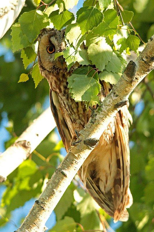 животные птицы весна ушастая сова ку-куphoto preview