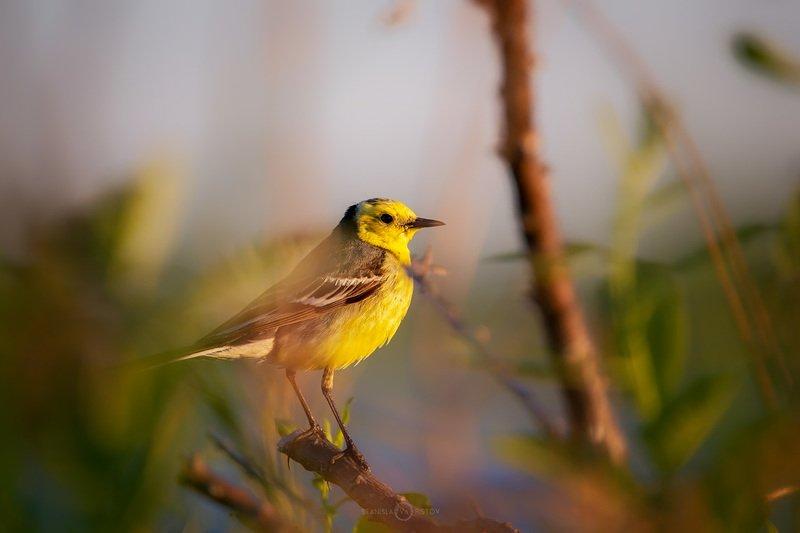 Самец желтой трясогузкиphoto preview
