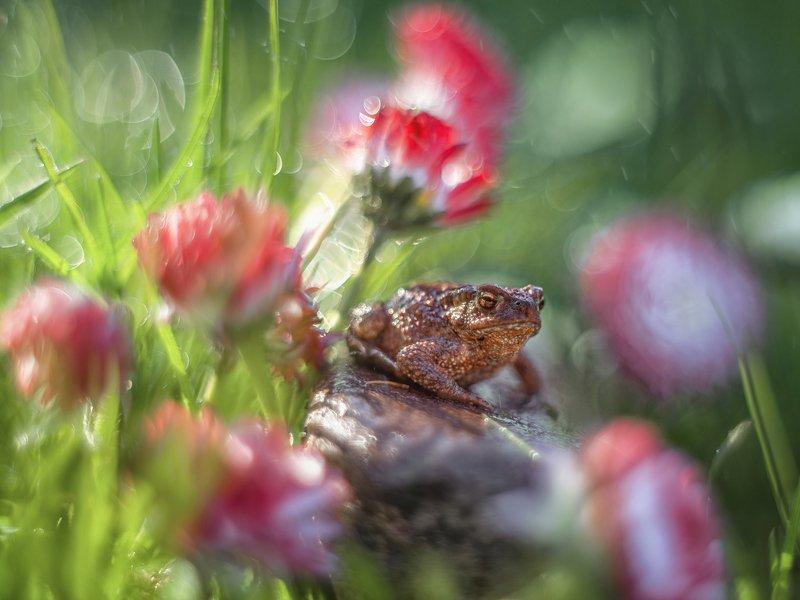 жабка жаба макро лето боке цветы маргаритки трава Маленькая жабка в маргариткахphoto preview