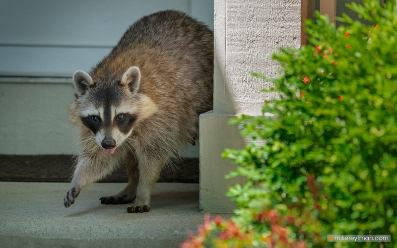 raccoon, local wildlife, arlington club, wheeling, illinois, little bagel, bublik, sushka Енот и Сушкиphoto preview