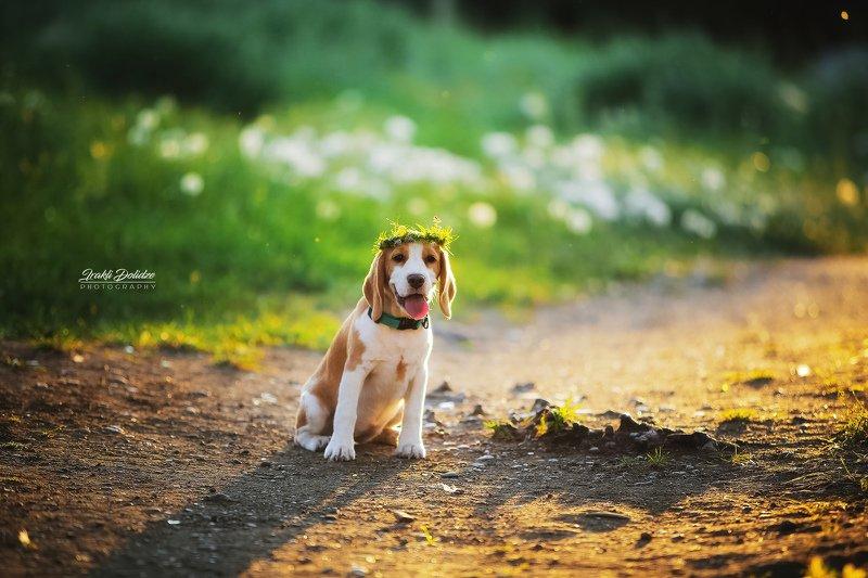 dog, beagle, sunset. spring, colors, green, bokeh, canon, outside, road, собака, весна Собака - веснаphoto preview