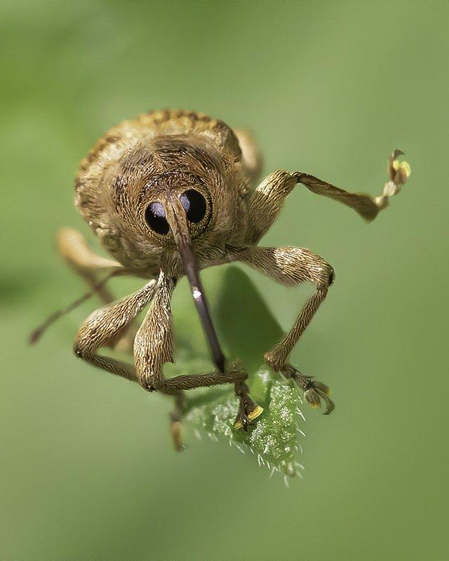насекомое, жук, долгоносик, приветствие Я вас приветствую!photo preview
