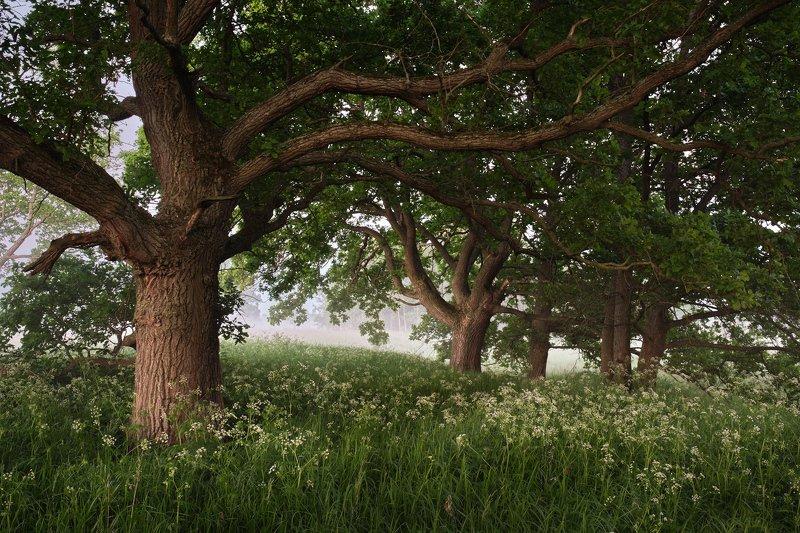 деревья, дубы В гостях у великановphoto preview