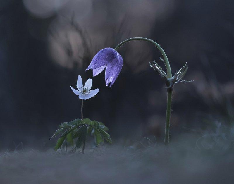 сон-трава, ветреница, закат, весна, природа Вдвоем с тобой...photo preview