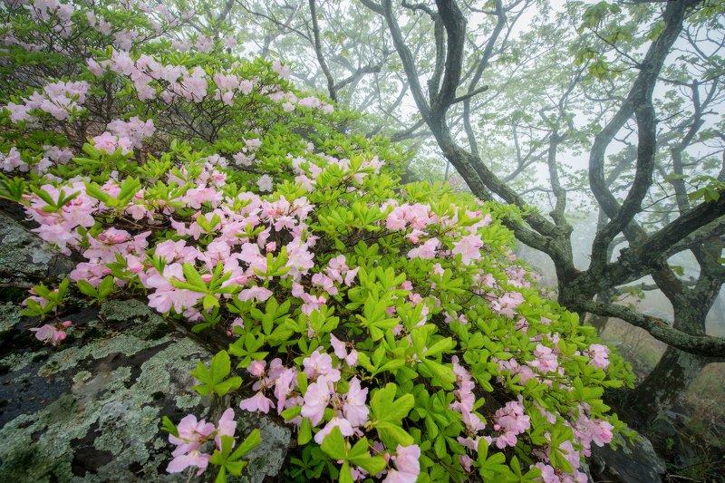 Приморье, Приморский край, рододендрон, Морской заповедник Туманная нежностьphoto preview