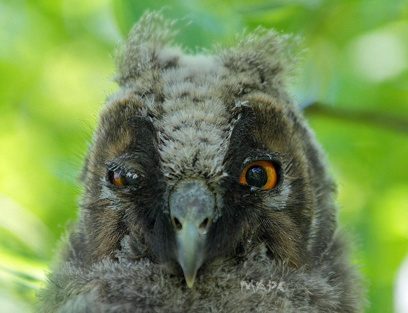 животные птицы ушастая сова птенец Портретphoto preview