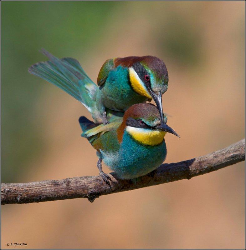 птицы,щурки,любовь,яркая,май Яркая любовь )photo preview