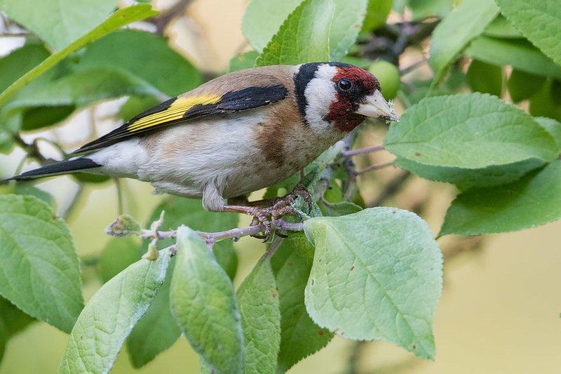 птицы, щегол, подмосковье Ловцы тлиphoto preview