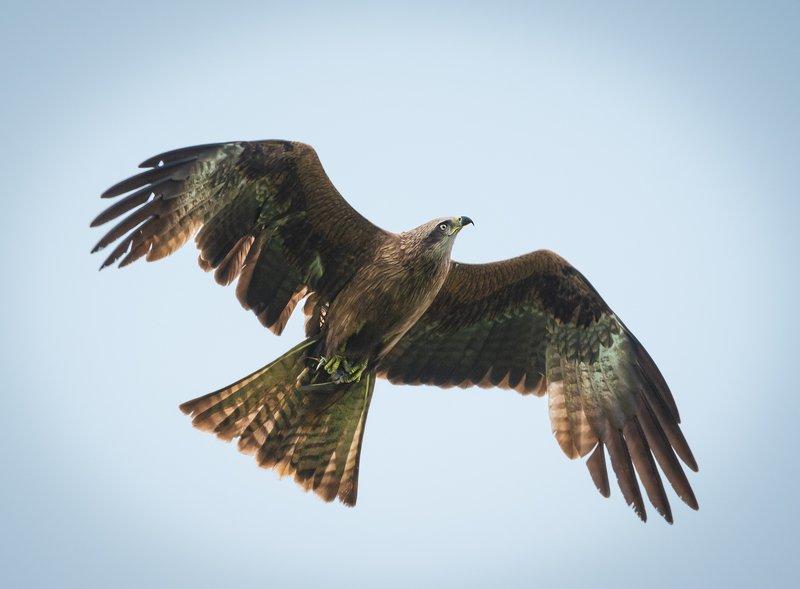 чёрный коршун, black kite, milvus migrans, birds of prey, хищные птицы, атласптицуфы Чёрный Коршунphoto preview