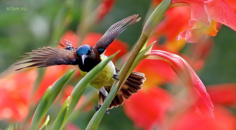bird, sunbird, bee, fight, gladiolus, gladioli, flower, flowers, birdwatching, wildlife, wildlifephotography, birdphotography, india, insect, птица, нектарница, пчела, цветы, гладиолус, фотография, ритам, мельгунов, ritam, melgunov, индия Смелая кроха / A Brave Beephoto preview