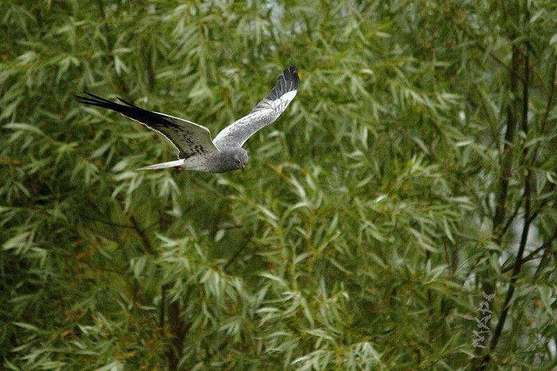 животные птицы полевой лунь июнь Полет Луняphoto preview