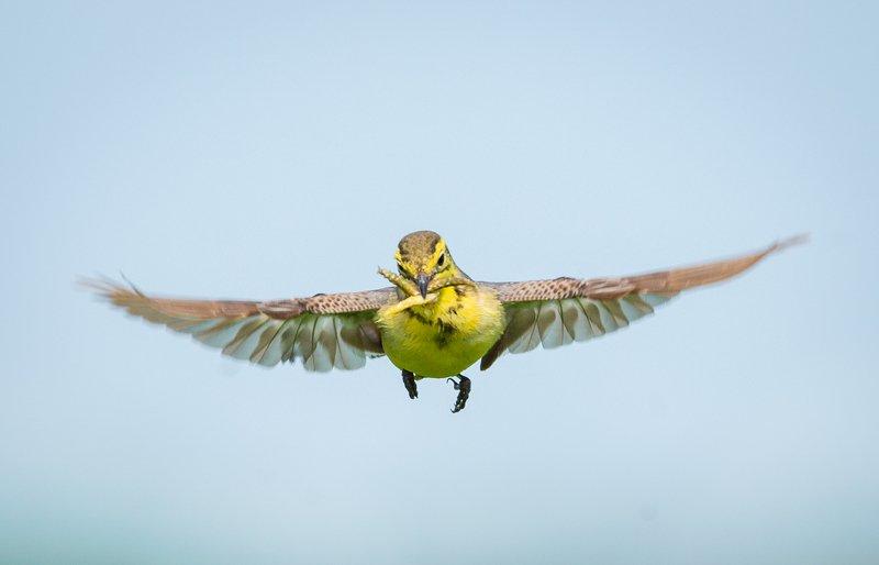 желтоголовая трясогузка, самка, citrine wagtail, motacilla citreola, птицы, birds, wings Левитацияphoto preview