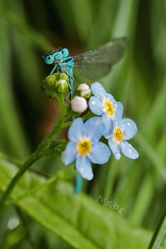 животные насекомые стрекоза цветы незабудка Всем привет!photo preview