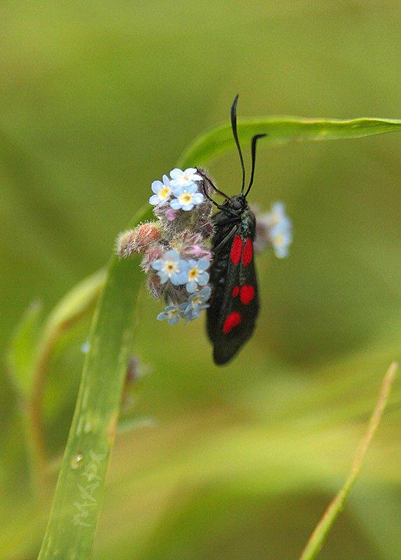 животные насекомые пестрянка таволговая Пестрянка таволговаяphoto preview