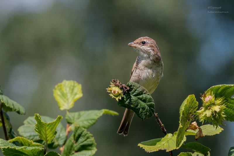 сорокопут жулан, птицы, фотоохота, орешник Орешкиphoto preview