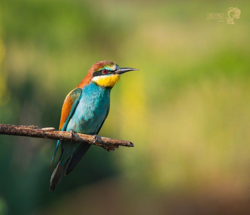 золотистая щурка, european bee-eater, merops apiaster, Уфа Щуркиphoto preview