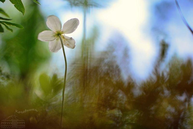 первоцветы, цветы, ветреница лесная, весна, макросъемка Дыхание весны: ветренница леснаяphoto preview