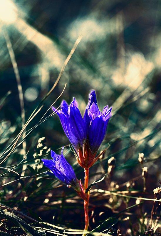 горечавки, сокольницы, цветок, цветы, соцветие, соцветия, flowers, inflorescence, gentianaceae, gentianales Волшебный цветок...photo preview
