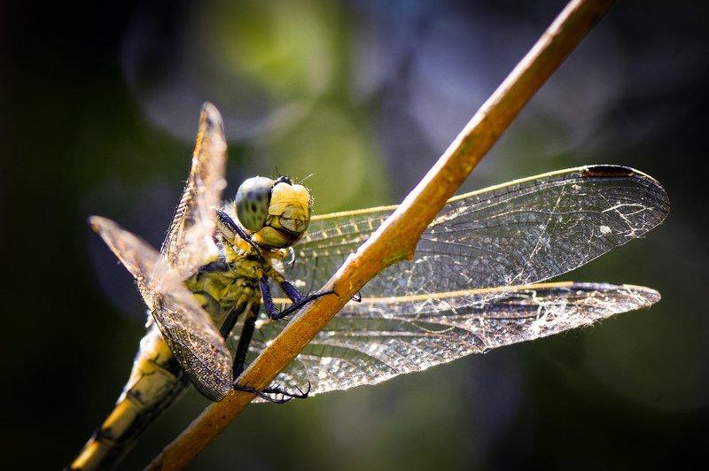 стрекоза, летний день, природа, макро, макрофотография, насекомые, macro, macrophoto, dragonfly, insect ***photo preview