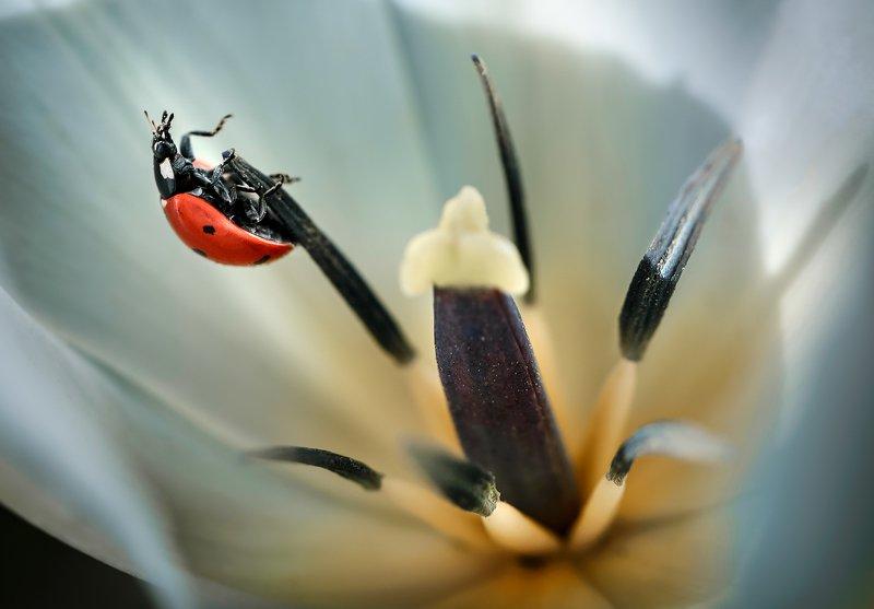 природа, макро, весна, цветы, тюльпан, насекомое, жук, божья коровка ***photo preview