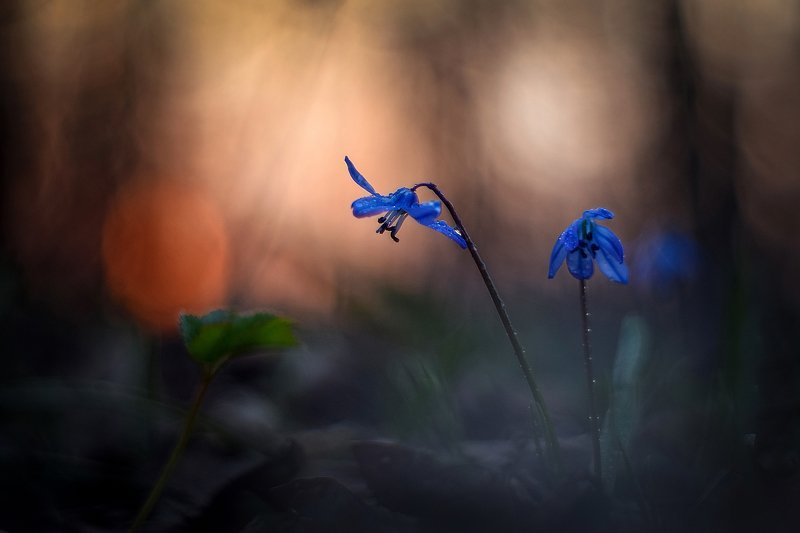 macro, flowers, nature, macrophoto, silence, пролески, весна, цветы, макро, природа, тишина, вчувствование В стране тысячи маленьких солнцphoto preview